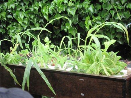 aquaponics kijani grows