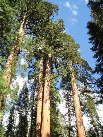 giant sequoias bachelor three graces