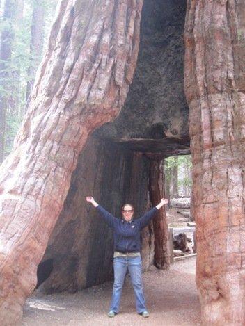 giant sequoias california tunnel tree