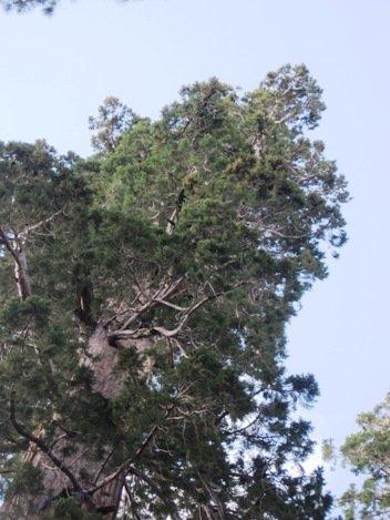 giant sequoias columbia tree