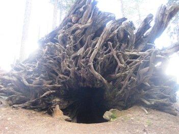 giant sequoias fallen giant