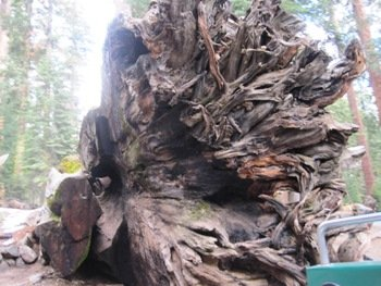 giant sequoias fallen tunnel tree roots