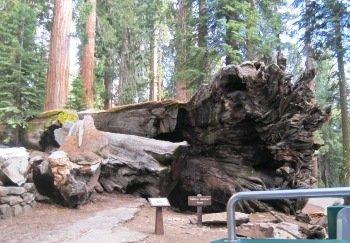 giant sequoias fallen tunnel tree