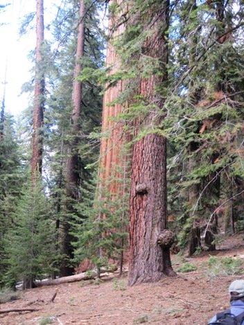 giant sequoias galen clark tree