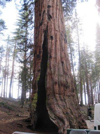 giant sequoias telescope tree