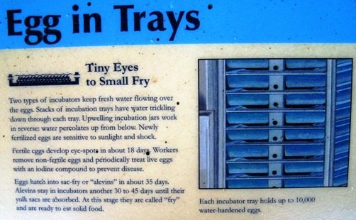 fish hatchery egg in trays