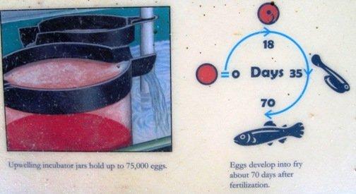 mokelumne fish hatchery egg incubation