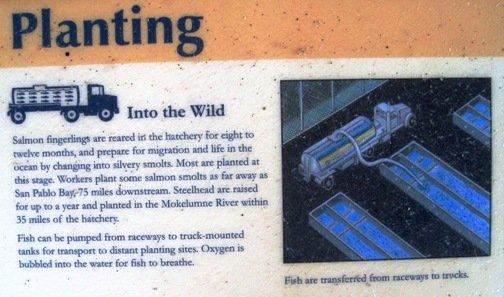 mokelumne fish hatchery planting