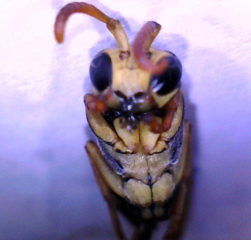 pictures of paper wasps