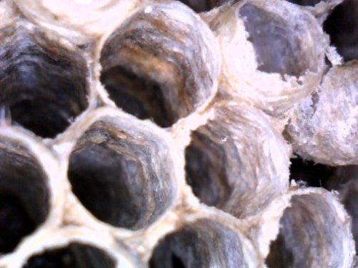 wasps paper