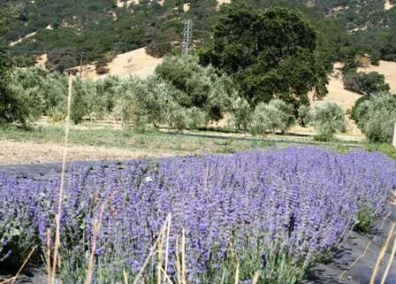lavender for essential oil distillation