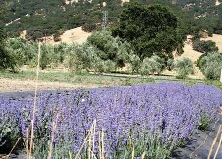 lavender for essential oil distillation