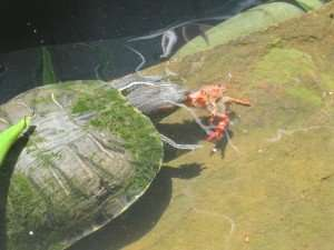 Red Eared Slider Turtle Making a meal of the crawdad