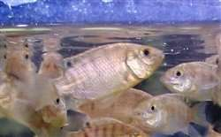 Buy Live Mozambique Tilapia fingerlings
