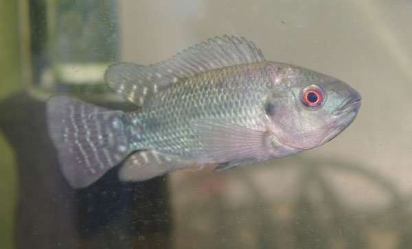 Buy Pure Blue Tilapia Fingerlings (Oreochromis Aureus)