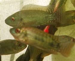 Buy Live Silver Nile Tilapia Fingerlings
