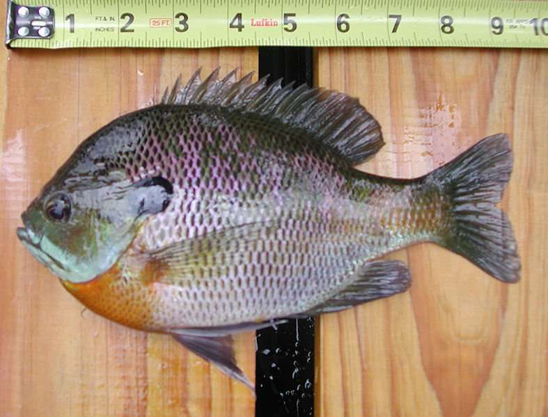 Buy Bluegill Fingerlings (Lepomis macrochirus)